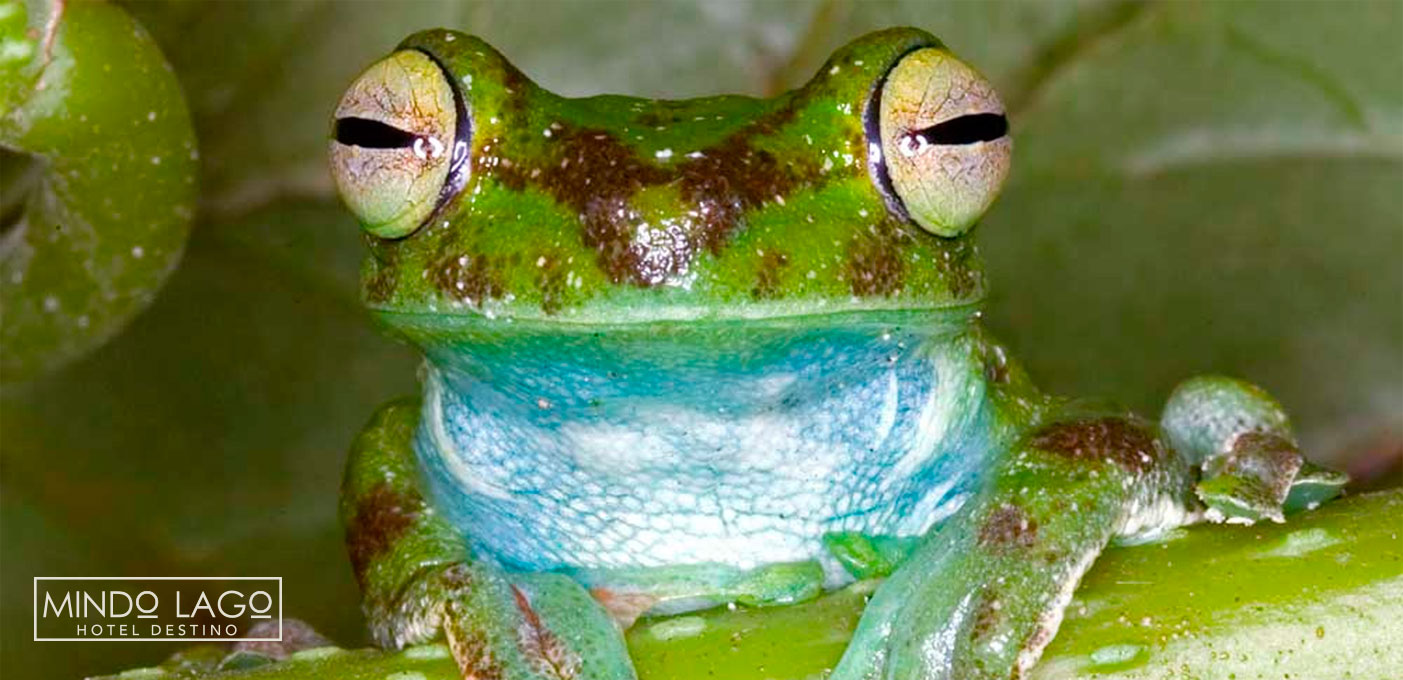 concierto-de-ranas-mindo-frog-concert-mindo-ecuador